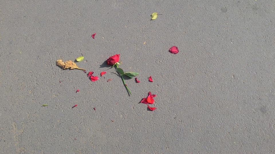 rose-640443_960_720